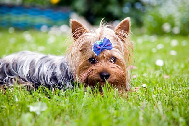Cão yorkshire deitado sob grama