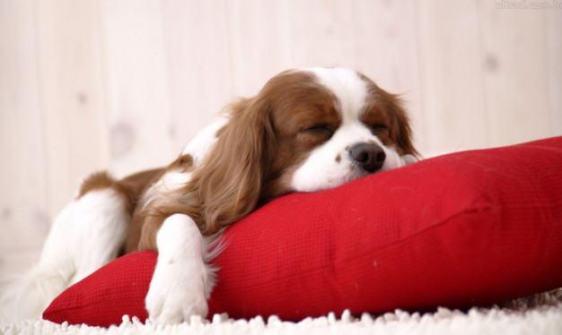 cavalier-king-dormindo