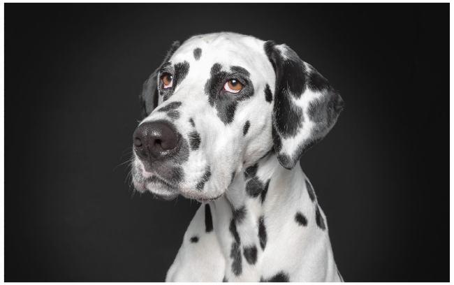 dalmatian_human
