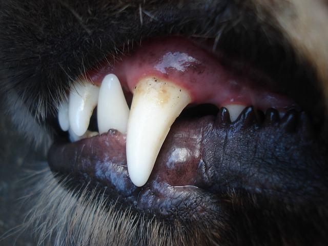 Dente de cão