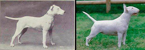 evolucao-bull-terrier