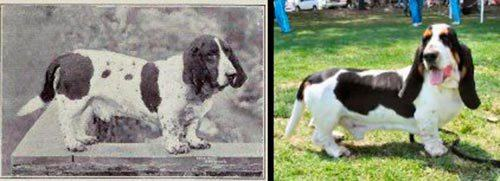 evolucao-do-basset