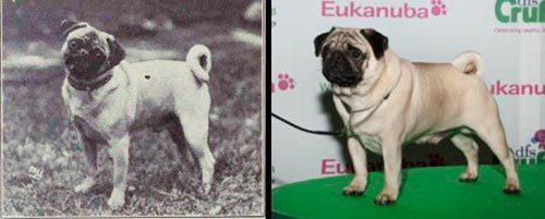 evolucao-do-pug