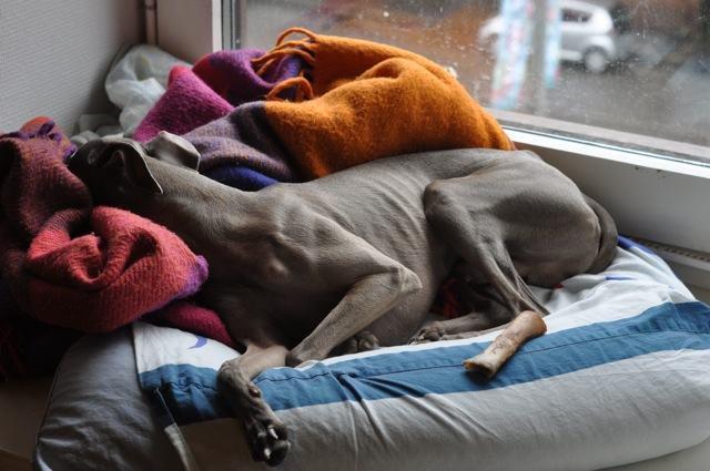 greyhound-dormindo-no-conforto