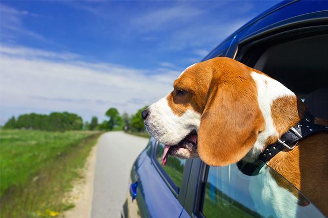 Imagem de cão com cabeça fora da janel de carro