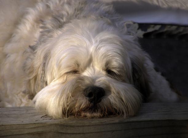 lhasa-apso-dormindo