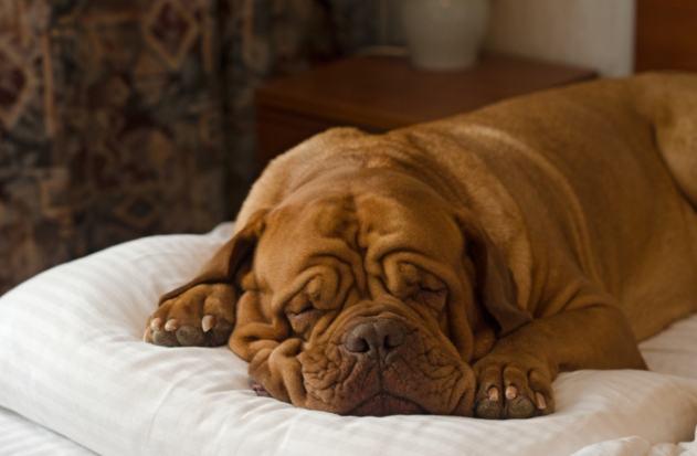 mastife-fofo-dormindo