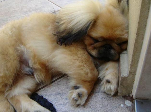 pequines-marrom-dormindo