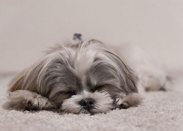 shih-tzu-dormindo