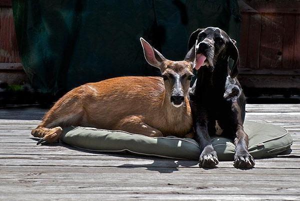 a-cadela-kate-e-sua-amiga-pippin-uma-cervo