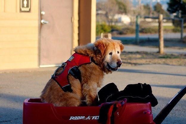 cachorro-idoso-passeando-em-carrinho