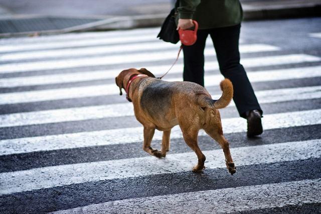 Imagem de cão-guia atravessando faixa de pedestre