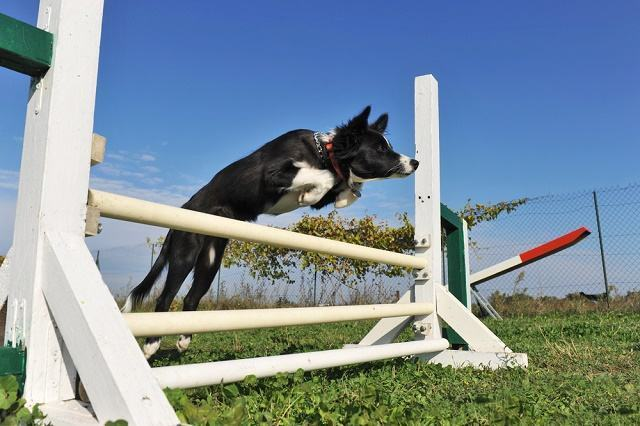 Imagem de cão praticando agility