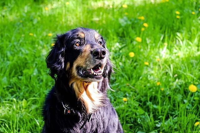 Imagem de cão sentado em jardim demonstrando atenção