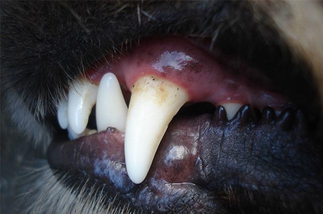 Imagem de dente de cão