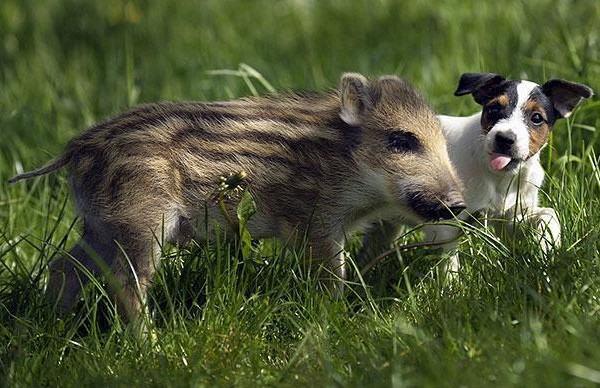 mani-o-porco-selvagem-e-piglet-o-caozinho