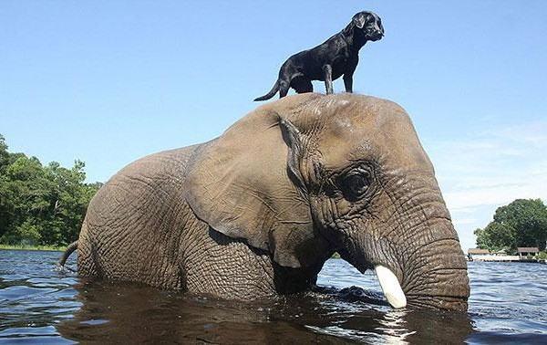 o-elefante-bubles-e-bella-labrador-preta