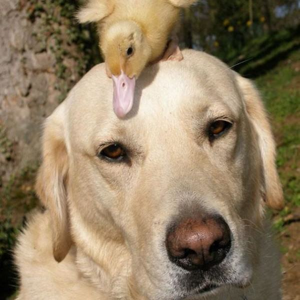 o-labador-fred-junto-a-seu-pato-dennis