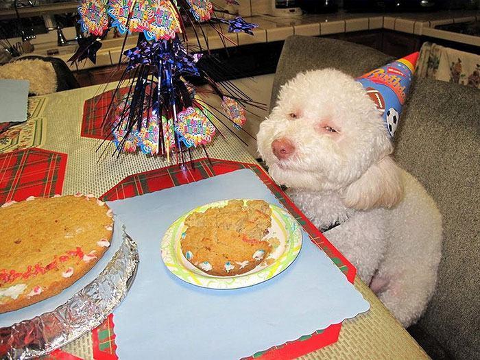 poodle-com-cara-engraçada-em-aniversário