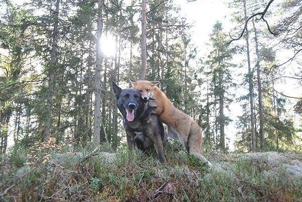 sniffer-a-raposa-e-tinni-o-cachorro