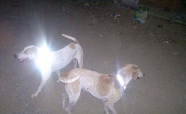 cachorros-com-coleira-refletiva