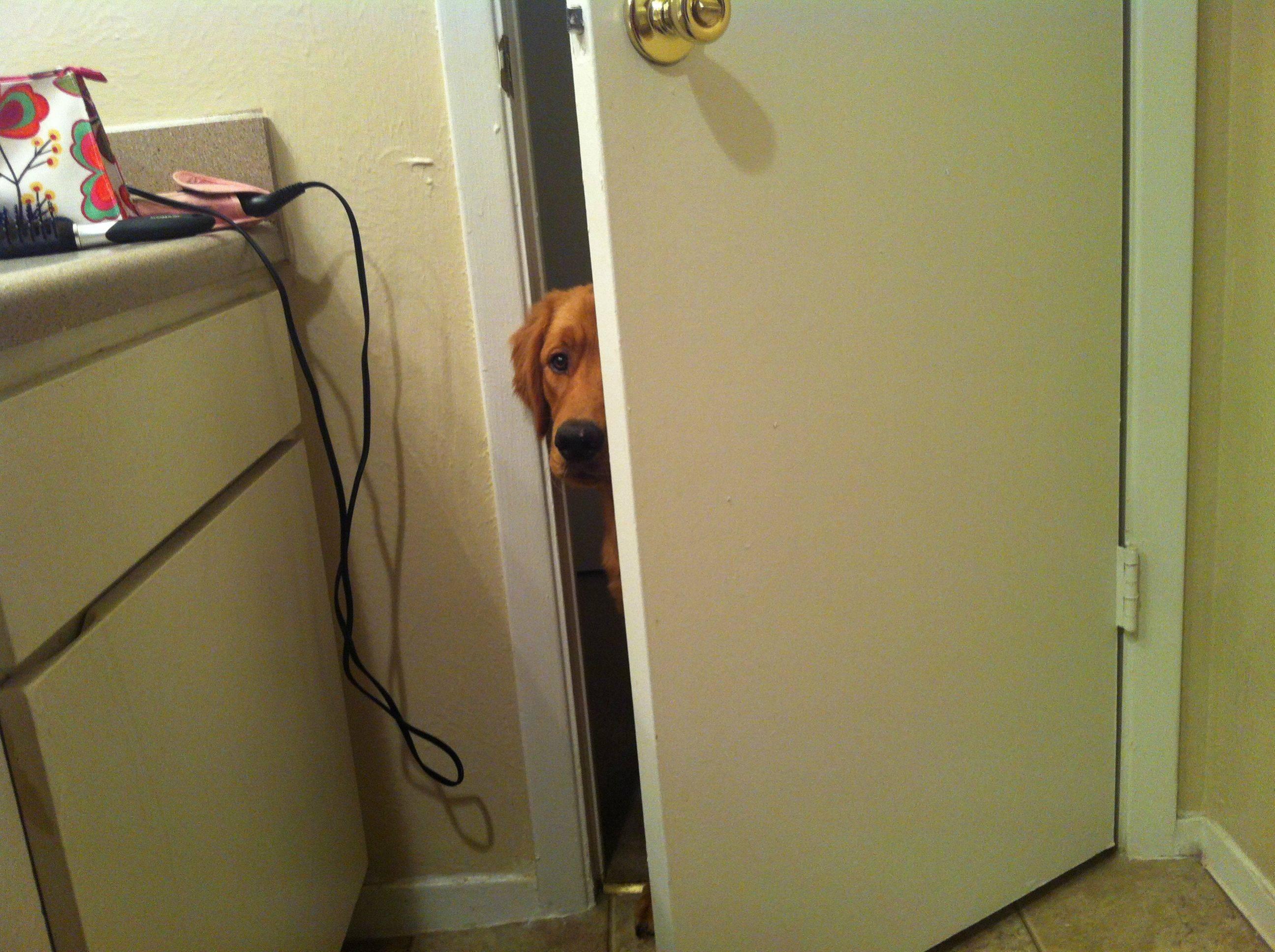 golden-retriever-olhando-tutor-no-banheiro
