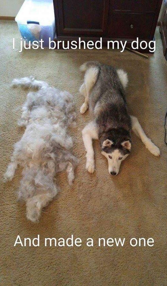 husky-siberiano-ao-lado-de-pelos-após-ser-escovado