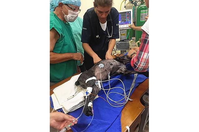 Imagem de cadela durante cirurgia para implante de marca passo humano